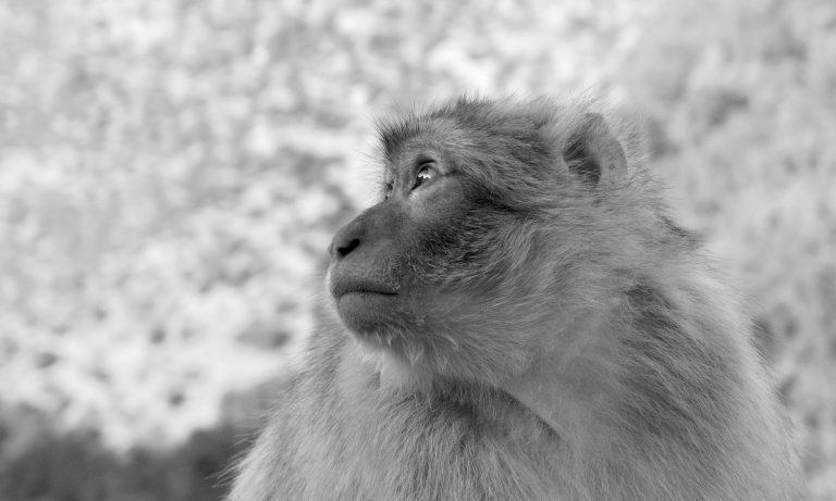 Cascades d'Ouzoud Barbary macaque