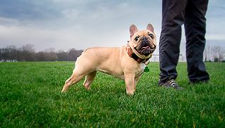 dog portrait french bulldog