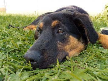 rottweiler; doberman; shepherd, dog portrait