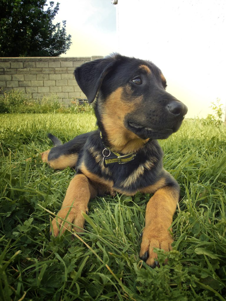 rottweiler; doberman; shepherd, dog portrait